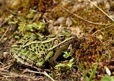 леопард лягушки северный Стоковые Изображения RF