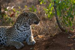 Леопард освещенный задней частью стоковая фотография