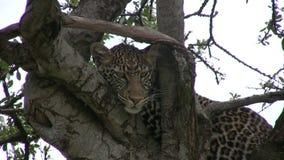 Леопард отдыхая на ветви сток-видео