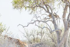 Леопард садясь на насест на ветви дерева акации против белого неба Идти жирафа непотревоженный Сафари живой природы в национально Стоковые Фото