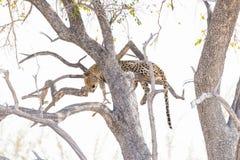 Леопард садясь на насест от ветви дерева акации против белого неба Сафари в национальном парке Etosha, главное назначение i живой Стоковые Изображения