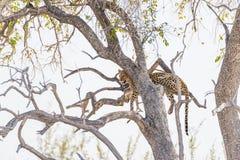 Леопард садясь на насест от ветви дерева акации против белого неба Сафари в национальном парке Etosha, главное назначение i живой Стоковая Фотография RF