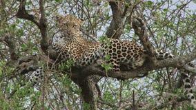 Леопард сидит терпеливо на ветви акции видеоматериалы