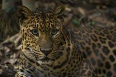 Леопард смотря вне Стоковая Фотография