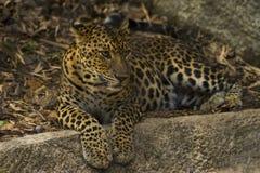 Леопард смотря вне Стоковая Фотография RF