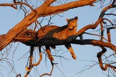 леопард смотря заход солнца к Стоковые Изображения