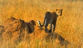 Леопард стоя на гнезде муравеев Стоковые Фотографии RF