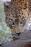 Леопард с взглядом гнева стоковое фото