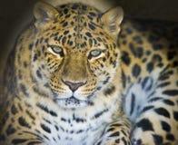 леопард темноты подземелья Стоковая Фотография