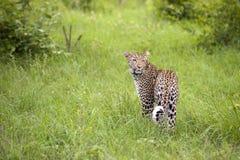 леопард травы высокорослый стоковое фото