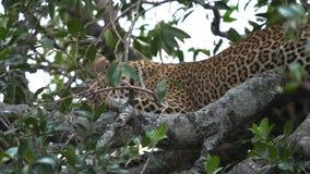 Леопард холить в дереве на национальном парке mara masai, Кении видеоматериал