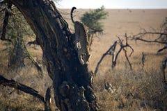 леопард 027 животных Стоковые Фото