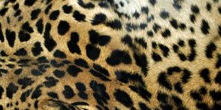леопард Стоковые Фотографии RF