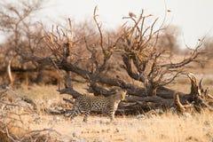 леопард стоковое фото