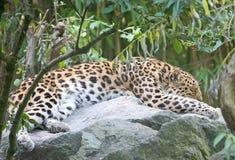 леопард 3 amur Стоковые Изображения RF
