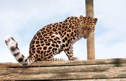 леопард amur вносит кучу в журнал Стоковые Фотографии RF