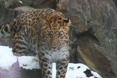леопард amur Стоковая Фотография RF