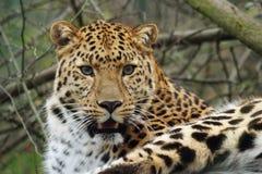 леопард amur Стоковые Изображения