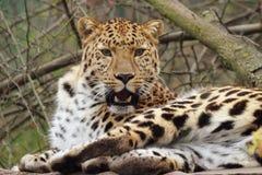 леопард amur Стоковые Изображения RF