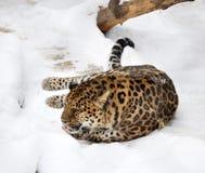 леопард amur Стоковое Изображение RF