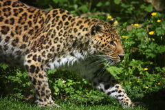леопард amur Стоковые Фото