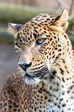 Леопард Cejlon Sri Lankan, kotiya pardus пантеры Стоковые Фотографии RF