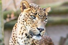 Леопард Cejlon Sri Lankan, kotiya pardus пантеры Стоковое Изображение