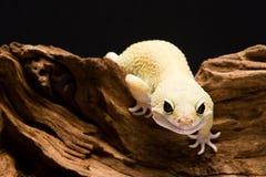 леопард gecko Стоковые Изображения