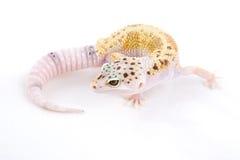 леопард gecko Стоковые Фотографии RF