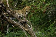 леопард kalahari пустыни Ботсваны Стоковые Фотографии RF