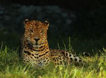 Леопард Sri Lankan или леопард Цейлона kotiya pardus пантеры лежа и наслаждаясь солнцем стоковая фотография