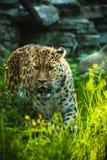 Леопард Амура Стоковое Изображение RF