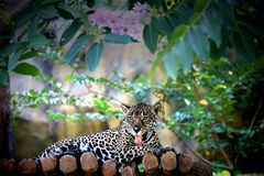 Леопард Амура Стоковая Фотография RF
