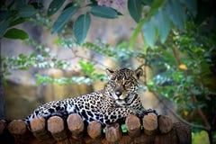 Леопард Амура Стоковое фото RF