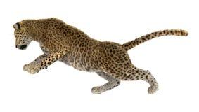 Леопард большой кошки на белизне Стоковая Фотография RF