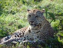 Леопард будучи спасанным от agitated сельчанин Стоковое фото RF