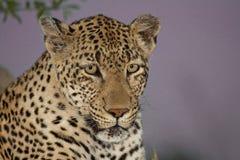 Леопард вечера Стоковые Изображения