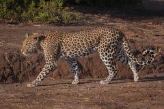 Леопард в Ботсване стоковое изображение