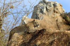 Леопард в национальном парке Кении Стоковые Фотографии RF