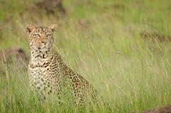 Леопард в национальном парке Mara Masai, Кения Стоковые Фото