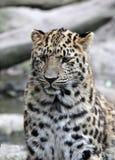 Леопард в плене, зоопарк Амура Мюлуза, Эльзас, Франция Стоковые Фото