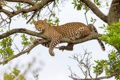 Леопард лежа на ветви Стоковая Фотография RF