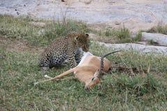 Леопард есть газеля добычи в одичалом maasai mara Стоковое Изображение