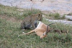 Леопард есть газеля добычи в одичалом maasai mara Стоковое Изображение RF