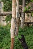 Леопард и черная пантера играя веревочку Стоковое Фото