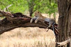 Леопард, национальный парк Serengeti Стоковые Фотографии RF