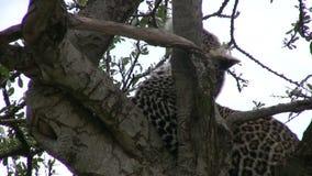 Леопард на дереве видеоматериал