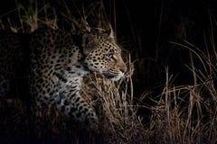Леопард на ноче Стоковая Фотография RF