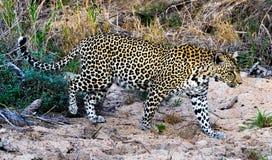 Леопард на охоте стоковое изображение