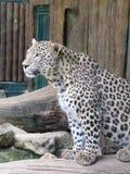 Леопард-пантера Pardus Стоковое Изображение RF